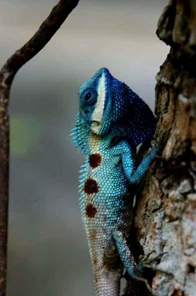 กิ้งก่าสีน้ำเงิน