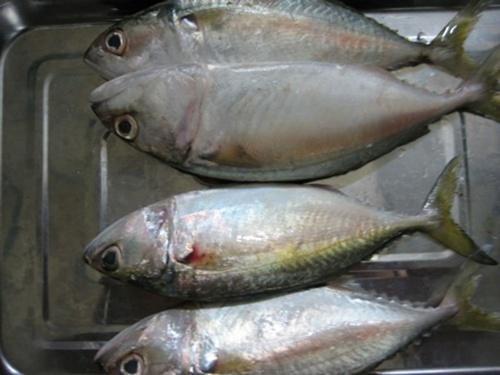 Indo-Pacific-Mackerel