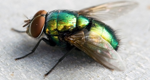 Blow fly1
