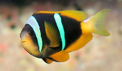 ปลาการ์ตูนลายปล้องหางเหลือง