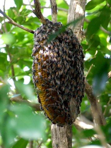 ผึ้งมิ้ม