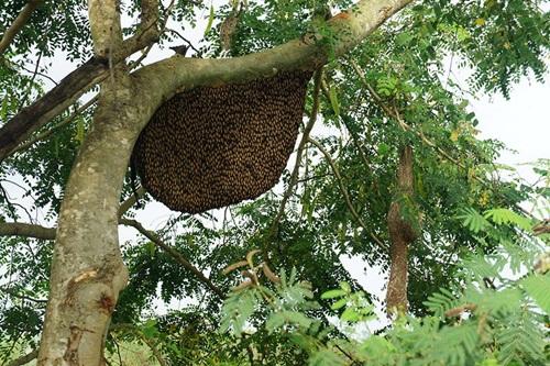 ผึ้งหลวง