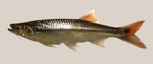 ปลาซิวอ้าว
