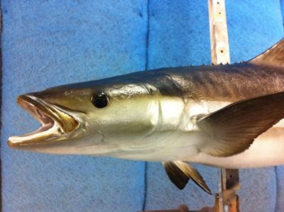 ปลาช่อนทะเล1