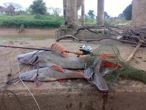 ปลากดคัง1