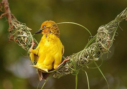 นกกระจาบทองสร้างรัง