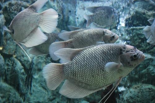 ปลาแรด