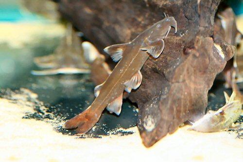 ปลาแค้ติดหินสามแถบ (Glyptothorax trilineatus)