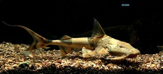 ปลาแค้วัว (Bagarius bagarius)