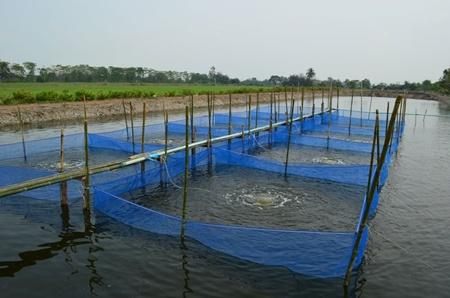 การเลี้ยงปลาในกระชัง