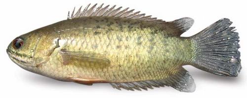 ปลาหมอ1
