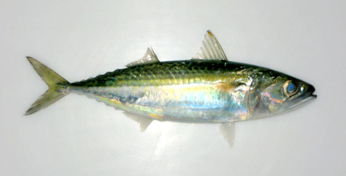 Faughn's -mackerel