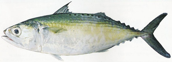Indian-Mackerel