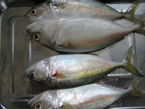 Indo-Pacific-Mackerel