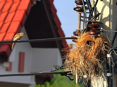 Tree sparrow2