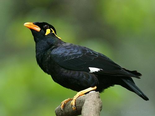 นกขุนทองใต้กลาย