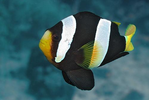 ปลาการ์ตูนลายปล้อง