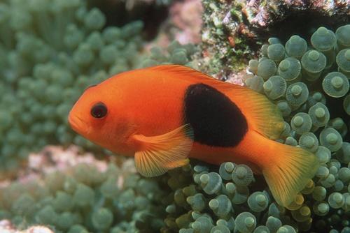 ปลาการ์ตูนแดงดำ