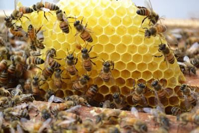 ผึ้งพันธุ์