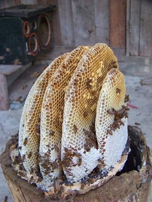 ผึ้งโพรง