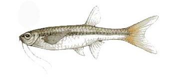 ปลาซิว1