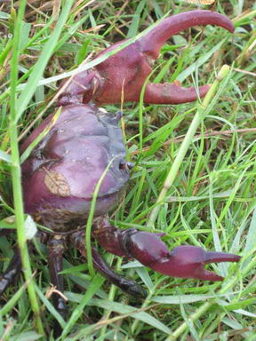 Rice field Crab