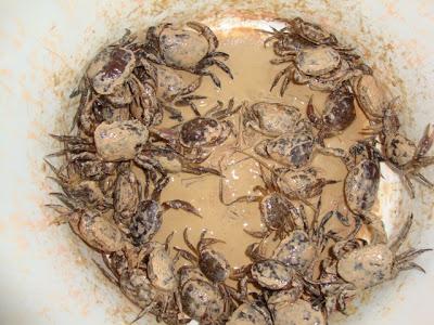 Rice field Crab1