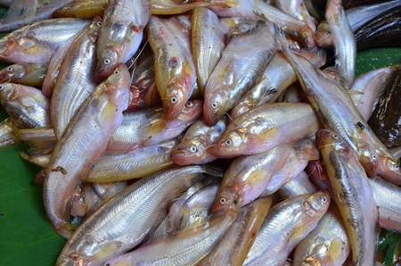 ปลาชะโอน1