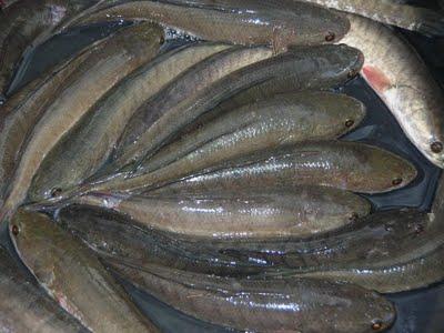 ปลาช่อน1
