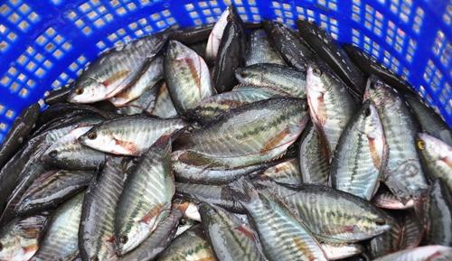 ปลาสลิด1