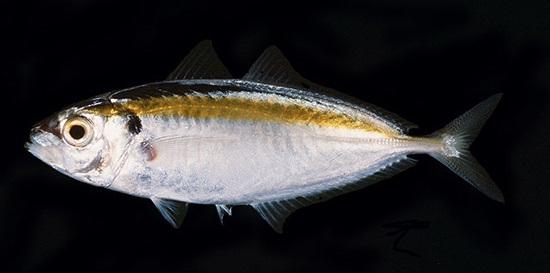 ปลาสีกุนข้างเหลือง