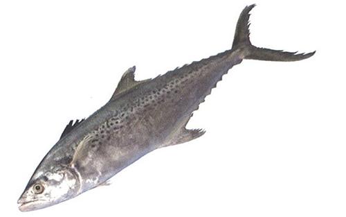 ปลาอินทรีย์จุด