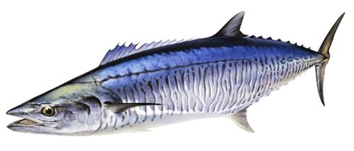 ปลาอินทรีย์บั้ง