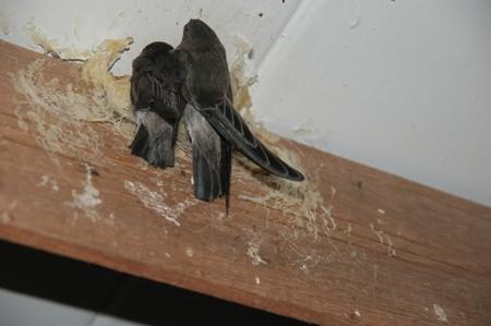 นกนางแอ่นกินรัง