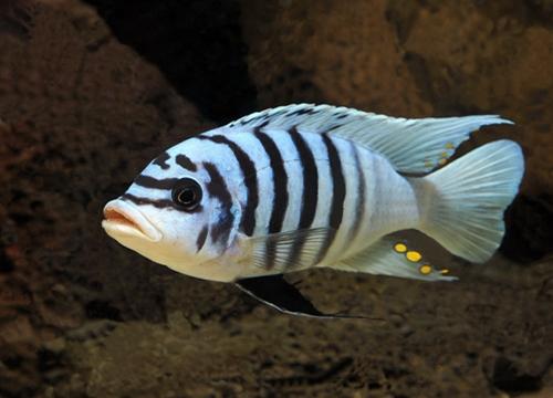 Pseudotropheus zebra