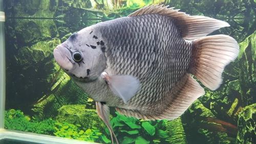 ปลาแรด1