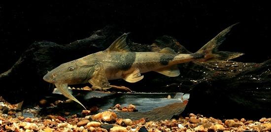 ปลาแค้ควาย (Bagarius yarrelli)